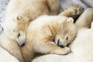 top-polar_bear